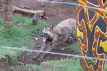 Hyena. Sangat dekat.